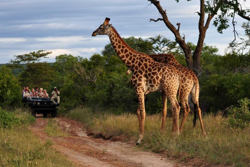 A pair of giraffes being checked out by a safari tour
