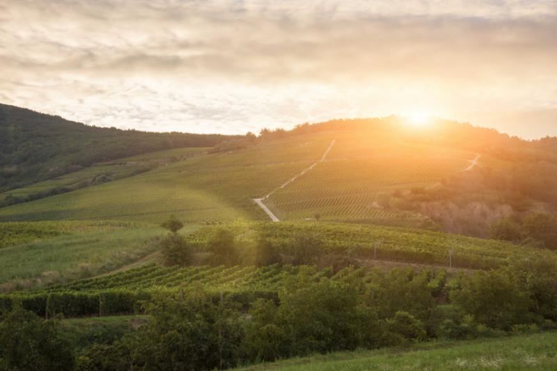 Tokaj vineyard sunset in Hungary.