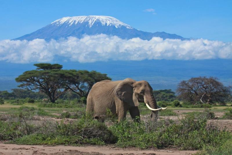 Lone African elephant standing in the foreground of Mount Kilimanjaro
