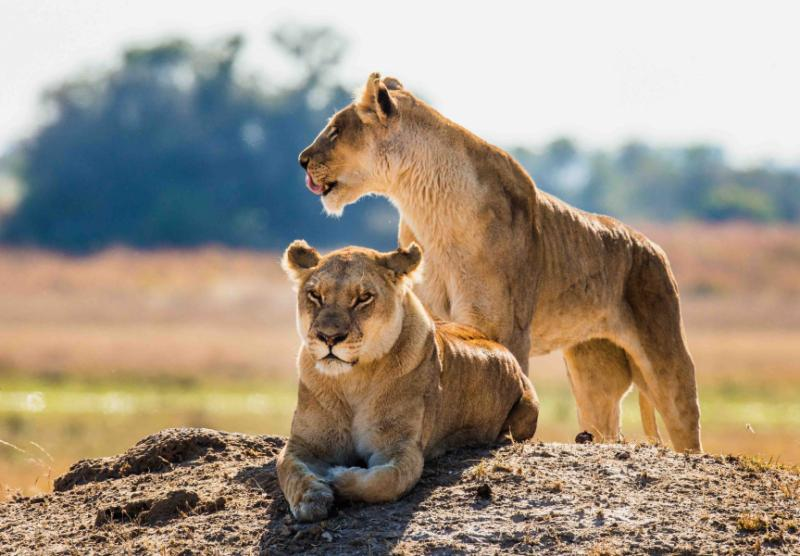Two regal African lionesses relaxing in the afternoon sun